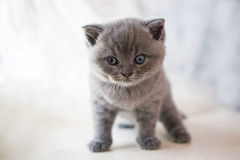 El gato de Cheshire se acerca al gatito imagen de archivo libre de regalías