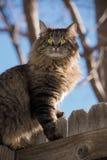 El gato de gato atigrado con amarillo observa sentarse en la cerca de madera imagenes de archivo