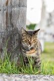 El gato de gato atigrado se coloca en la hierba Fotos de archivo libres de regalías