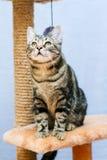 El gato de gato atigrado se sienta en una torre del gato Fotos de archivo libres de regalías