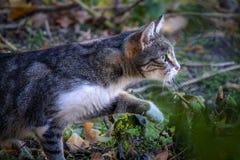 El gato de la calle notó una presa y se arrastra después de ella Foto de archivo libre de regalías