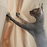 El gato de la esfinge ase las cortinas con sus garras fotografía de archivo