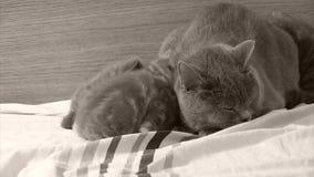 El gato de la madre desteta gatitos almacen de video