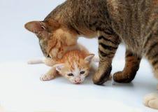 El gato de la madre lleva el gatito Imagenes de archivo