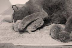 El gato de la madre toma el cuidado de sus gatitos, primer día Foto de archivo