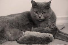 El gato de la madre toma el cuidado de sus gatitos, primer día Fotos de archivo
