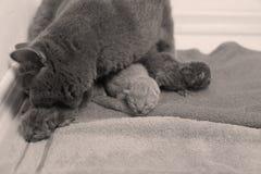 El gato de la madre toma el cuidado de sus gatitos, primer día Imágenes de archivo libres de regalías