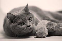 El gato de la madre toma el cuidado de sus gatitos, primer día Imagenes de archivo