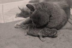 El gato de la madre toma el cuidado de sus gatitos, primer día Fotografía de archivo