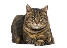 el gato de la Mezclado-raza cruzó las piernas que se acostaban y la pierna cruzada de relajación fotos de archivo