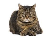 el gato de la Mezclado-raza cruzó las piernas que se acostaban y la pierna cruzada de relajación Imagen de archivo