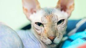 El gato de la raza de Sphynx del canadiense le mira con los ojos verdes metrajes