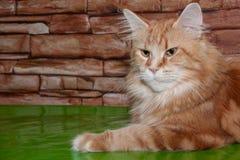 El gato de mapache adulto de Maine está mintiendo en el suelo del espejo Foto de archivo libre de regalías
