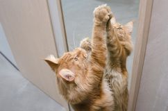 El gato de mapache de mármol rojo grande de Maine se coloca cerca del espejo imagen de archivo libre de regalías