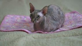 El gato de Sphynx del canadiense miente en la manta almacen de video