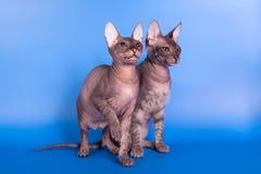 El gato de Sphynx en un fondo azul fotos de archivo