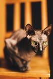 El gato de Sphynx se prepara para el ataque Foto de archivo