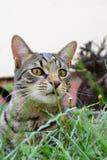 El gato de tigre nacional con amarillo observa la mentira en la hierba del jardín fotos de archivo