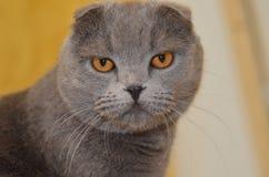 El gato del doblez de Skottish fotografía de archivo