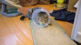 El gato del doblez del escocés está enfermo almacen de metraje de vídeo