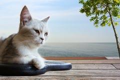 El gato del doblez del escocés se sienta en el sofá de cuero negro Imágenes de archivo libres de regalías