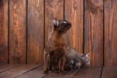 El gato del gatito y del adulto cría el birmano, el padre europeo y al hijo sentándose en fondo de madera Gris y marrón, color Fotografía de archivo
