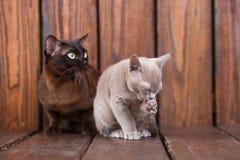 El gato del gatito y del adulto cría el birmano, el padre europeo y al hijo sentándose en fondo de madera Gris y marrón, color Foto de archivo libre de regalías