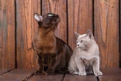 El gato del gatito y del adulto cría el birmano, el padre europeo y al hijo sentándose en fondo de madera Gris y marrón, color Imagen de archivo libre de regalías
