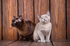 El gato del gatito y del adulto cría el birmano, el padre europeo y al hijo sentándose en fondo de madera Gris y marrón, color Imágenes de archivo libres de regalías