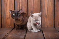 El gato del gatito y del adulto cría el birmano, el padre europeo y al hijo sentándose en fondo de madera Gris y marrón, color Fotos de archivo libres de regalías