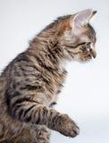 El gato del gris juega con los juguetes rojos de un Año Nuevo Fotografía de archivo