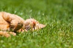 El gato del jengibre Fotografía de archivo