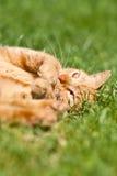 El gato del jengibre Foto de archivo