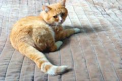 El gato del jengibre miente en la cama Fotografía de archivo libre de regalías
