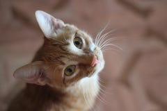 6b8a385ff El gato del jengibre mira el retrato ascendente de un gato joven imagen de  archivo libre