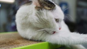 El gato divertido goza de su juguete de pulido de la nueva garra almacen de video