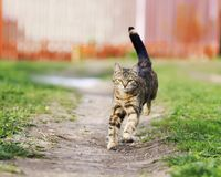 El gato divertido rayado corre rápidamente abajo de la trayectoria un prado verde en s Imagenes de archivo