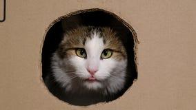 El gato divertido roe una caja de cartón con un agujero y la mirada de la cámara fotos de archivo libres de regalías