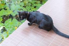 El gato, el gato negro que mira abajo en la charca Fotografía de archivo