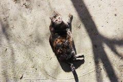 el gato embarazada infectado con herpesvirus felino - rinotraqueítis o chlamydiosis viral felina - psittaci del Chlamydia es heat fotos de archivo libres de regalías