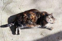 el gato embarazada infectado con herpesvirus felino - rinotraqueítis o chlamydiosis viral felina - psittaci del Chlamydia es heat foto de archivo libre de regalías