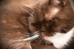 El gato es marrón Raza británicos El dormir en su casa imagen de archivo
