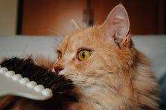 El gato es olor su cepillo y mirando algo fotografía de archivo libre de regalías