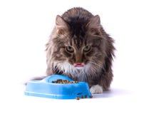 El gato está comiendo el alimento de animal doméstico Imágenes de archivo libres de regalías