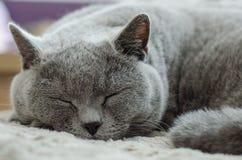 El gato está durmiendo en la cama Gato azul británico Imagen de archivo