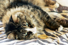 El gato está jugando con el bitcoin Imagen de archivo
