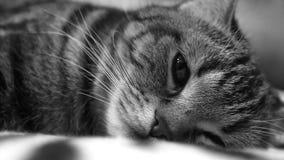 El gato está mintiendo en el sofá almacen de video