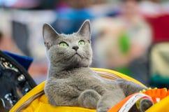 El gato está mirando Fotografía de archivo