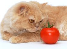 El gato está oliendo el tomate Imágenes de archivo libres de regalías