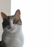 El gato está presentando con el fondo blanco detrás de ella Fotografía de archivo